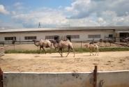 семья верблюдов живет там же
