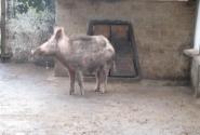 свинья должна быть грязная, неважно, что я кабан-альбинос
