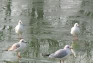 Чайки на льду в Люксембургском саду