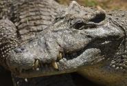 70-летний крокодил
