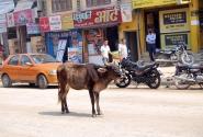 Священная корова ну улице Катманду