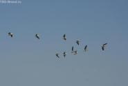 Косяк пеликанов