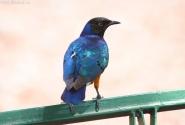 Еще красивый птиц, но очень пугливый