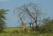 Жирафы смотрели нам вслед