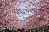 Стокгольм приглашает на День сакуры
