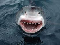 Акулы через 10 лет доберутся до Крыма