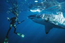 Гостям Сочи предлагают поплавать с акулами