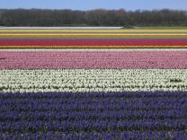 Самый известный цветочный регион Голландии предлагает автобусный тур