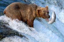 Веб-камеры на Аляске позволяют понаблюдать за медведями