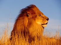 По улицам Найроби гуляют львы