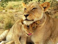 Сафари-парк львов откроется в Крыму
