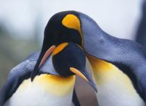В Дубае можно будет понаблюдать за пингвинами
