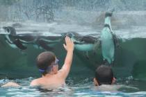 Германский парк предлагает купание с пингвинами