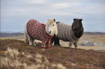 Пони в свитерах рекламируют Шотландию