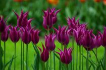 Дни тюльпанов пройдут в Амстердаме