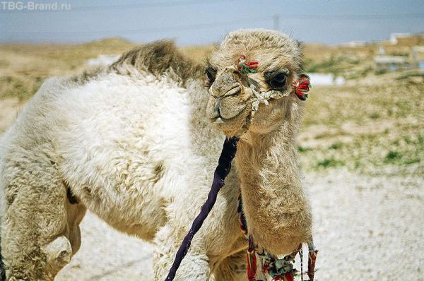 Верблюжонок