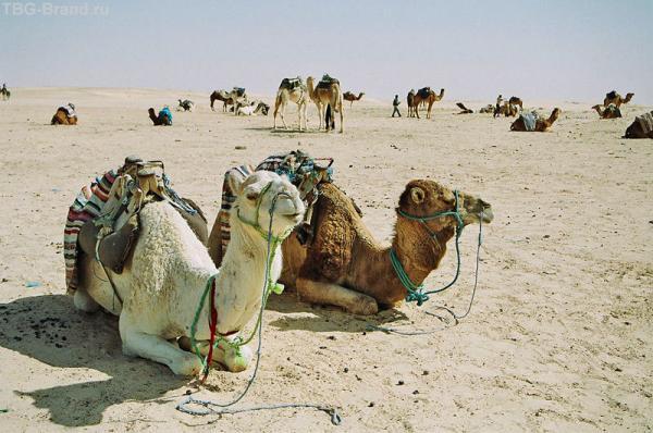 Парковка верблюдов в городе Дуз - на краю Сахары