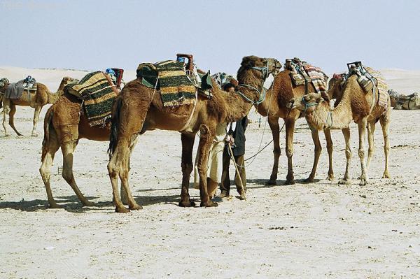 Парковка верблюдов - 2