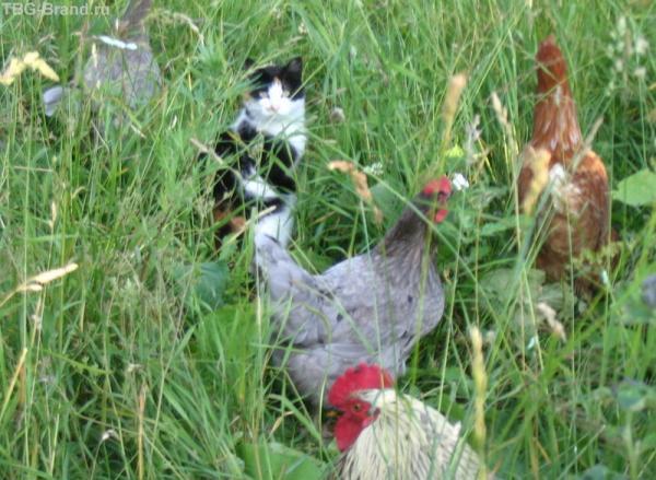 У нас в деревне кошка сторожит куриц