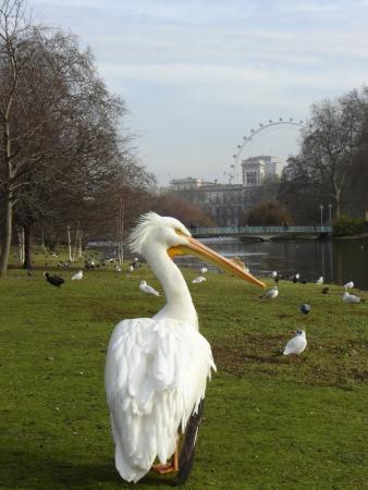 Оля, тебе - персональный пеликан