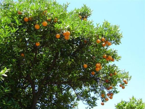 Апельсины. Турецкие
