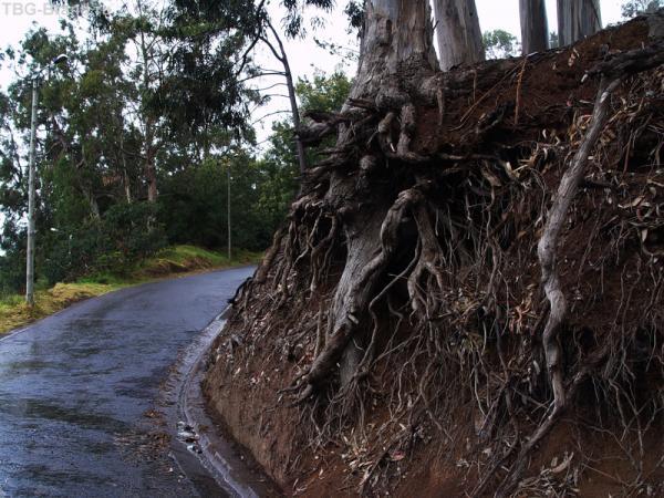 корни эвкалипта