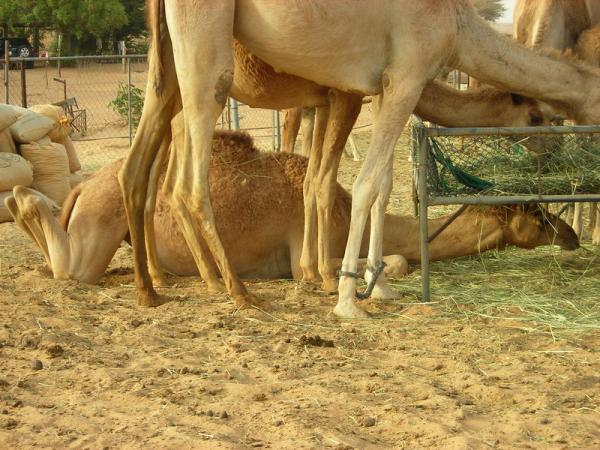 Хитрый верблюд