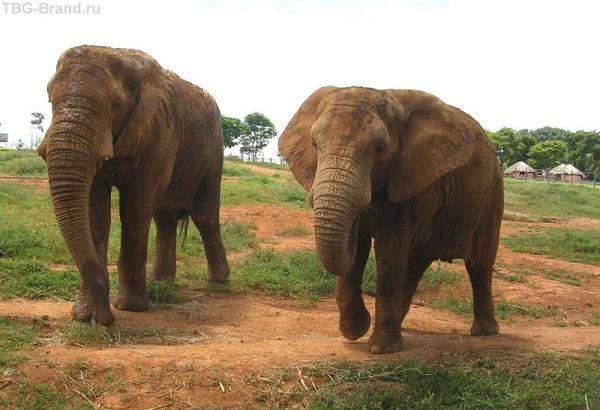 слоны готовы пообщаться