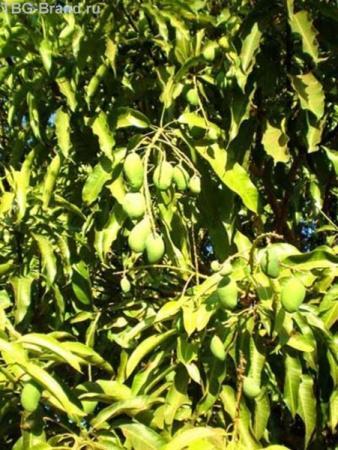 манго уже скоро созреют...
