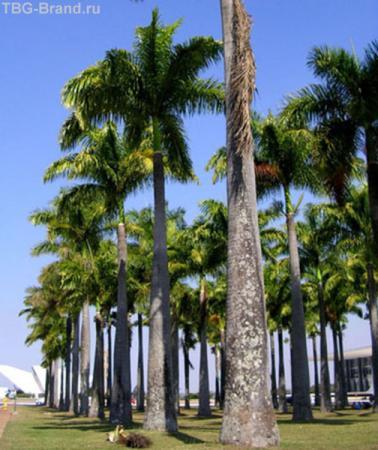 парламентская пальмовая роща