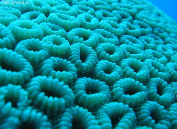 Мягкий коралл