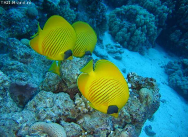 Рыбки-ангелы отличаются яркой красивой окраской