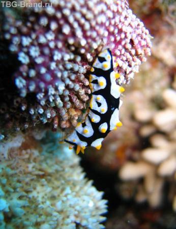 Голожаберные моллюски броской расцветкой предупреждают о своей несъедобности, букетики на спине - это жабры - отсюда и название