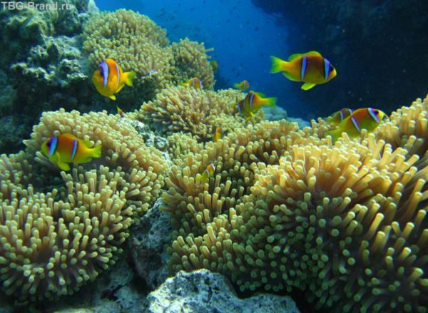 Рыбы-клоуны живут в кораллах-анемонах