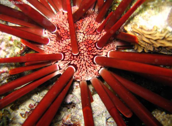 Грифельный морской еж, его толстые и тупые иглы удерживают его в расщелинах рифа, не давая ни хищникам, ни течению сдвинуть его с облюбованного местечка
