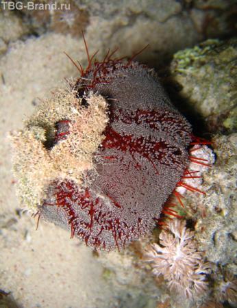 Морской еж - астенозома - с ядовитыми железами на концах игл