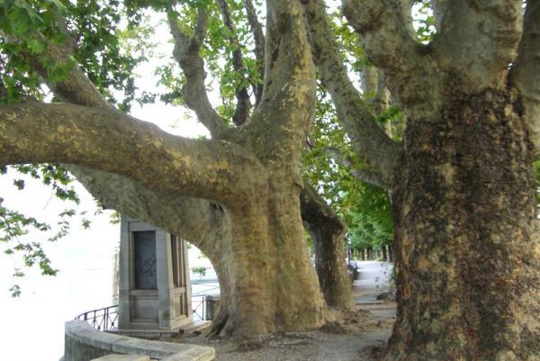 вековые деревья на набережной Локарно