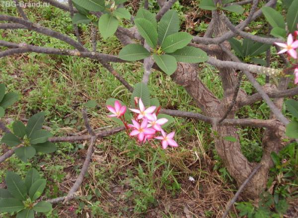 Тайский цветок