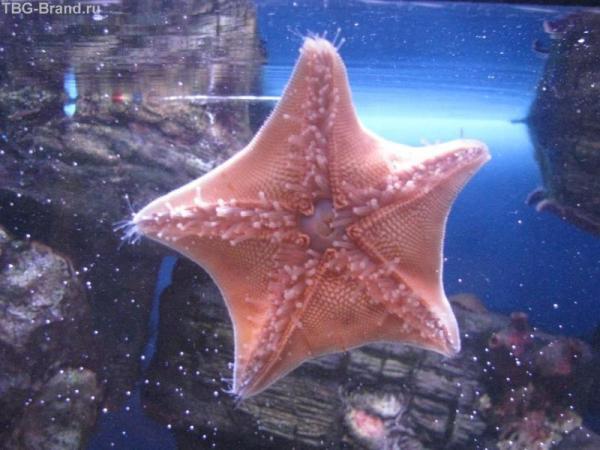 Морскя звезда