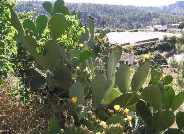 кактусы на Вулкане - частое явление
