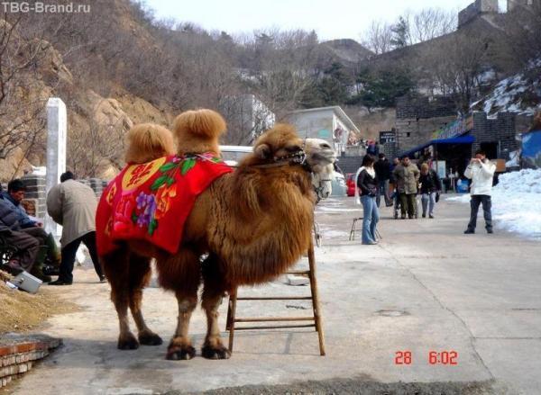 Китайский верблюд
