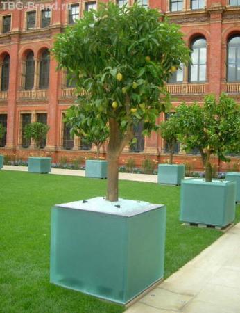 Лимонное дерево в Музее Виктории и Альберта