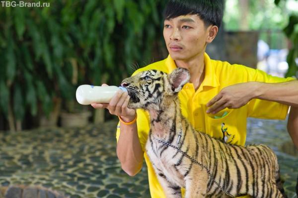 "мальчик готовит реквизит для Вашего снимка ""Я кормлю тигренка"""