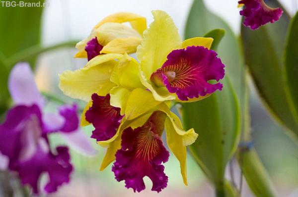 """собственно орхидеи """"Сада орхидей"""""""