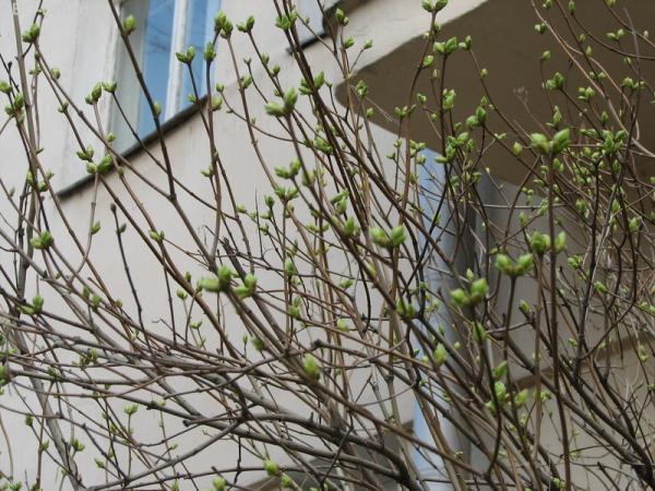 Уже листья распускаются! 31 марта!