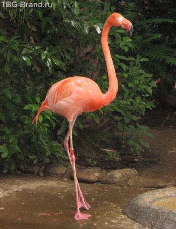 японский розовый фламинго