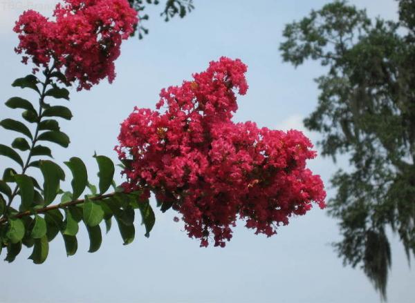 Мирт в цвету