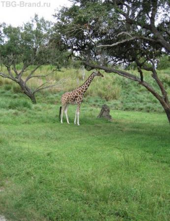 И конечно же жираф..