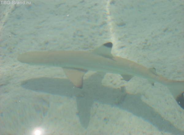 акулка