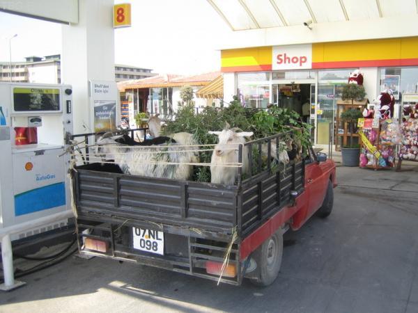 ...козы тоже путешествуют
